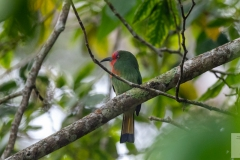 Nyctyornis amictus - Red-bearded Bee-eater - Rotbartspint