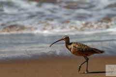 Numenius americanus - Long-billed Curlew - Rostbrachvoge
