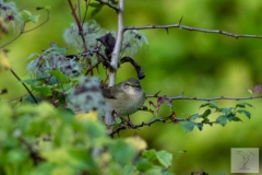 Phylloscopus collybita - Common Chiffchaff - Zilpzalp