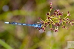 Enallagama cyarhigerum - Common Blue Damselfly - Becher-Azurjungfer