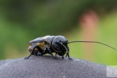 Gryllus campestris - European field cricket - Feldgrille