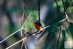 Alcedo meninting - Blue-eared Kingfisher - Menintingeisvogel