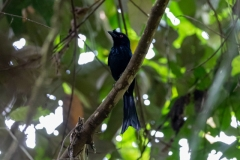 Dicrurus paradiseus - Greater Racket-tailed Drongo - Flaggendrongo
