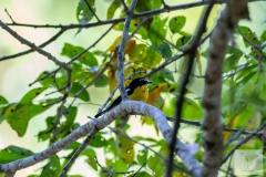 Ficedula zanthopygia - Yellow-rumped Flycatcher - Goldschnäpper