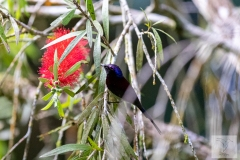 Aethopyga saturata - Black-throated Sunbird - Schwarzkehl-Nektarvogel