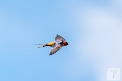 Cecropis badia - Rufous-bellied Swallow - Thaischwalbe