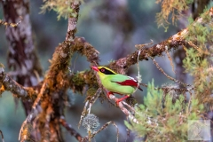 Cissa chinensis - Common Green-Magpie - Jagdelster