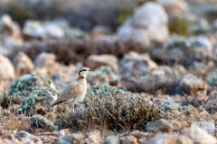 Cursorius cursor - Cream-coloured Courser -Rennvogel