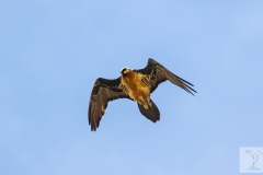 Gypaetus barbatus - Bearded Vulture - Bartgeier