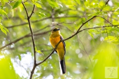 Harpactes oreskios - Orange-breasted Trogon - Orangebrust-Trogon