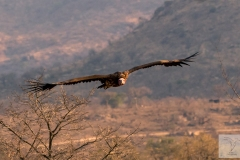 Torgos tracheliotos - Lappet-faced Vulture - Ohrengeier