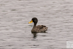 Anas undulata - Yellow-billed Duck - Gelbschnabelente