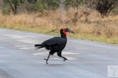 Bucorvus leadbeateri - Southern Ground-hornbill - Kaffernhornrabe