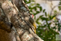 Campethera abingoni - Golden-tailed Woodpecker - Goldschwanzspecht