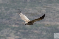 Gyps coprotheres - Cape Vulture - Kapgeier