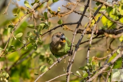 Poicephalus cryptoxanthus - Brown-headed Parrot - Braunkopfpapagei