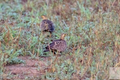 Pterocles bicinctus - Double-banded Sandgrouse - Nachtflughuhn